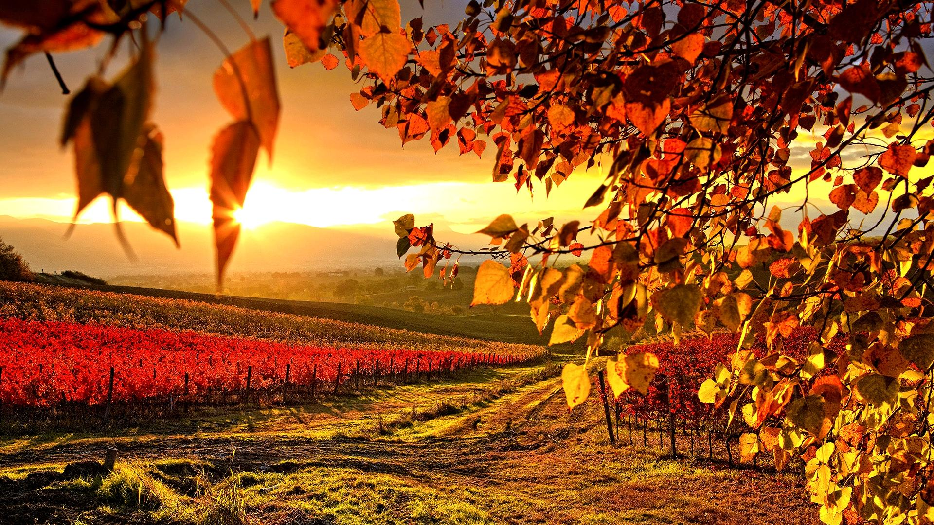 http://wewinelovers.wehomeowners.com/wp-content/uploads/2016/08/Beautiful-Vineyard-Autumn-Wallpaper-Full-HD.jpg